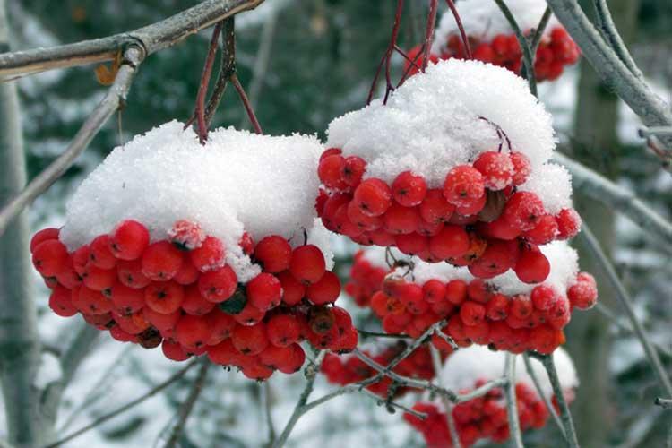 Рябина красная — сорта и виды, посадка и уход