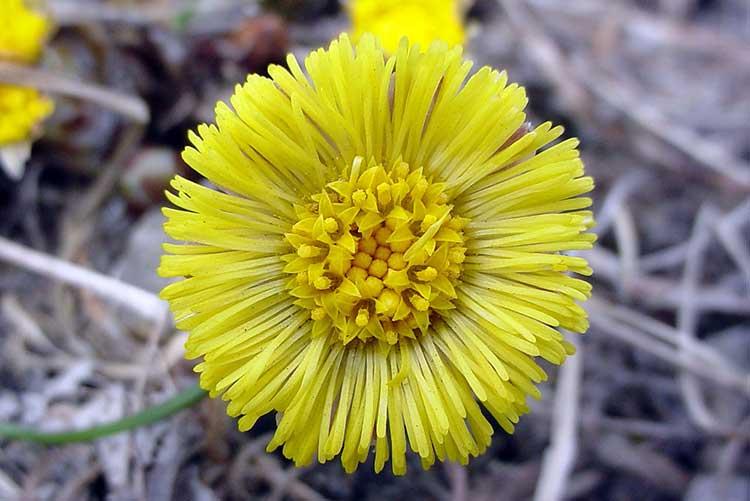 мать-и-мачеха, желтые цветы, противовоспалительное, туберкулез, золотуха, выпадение волос, перхоть