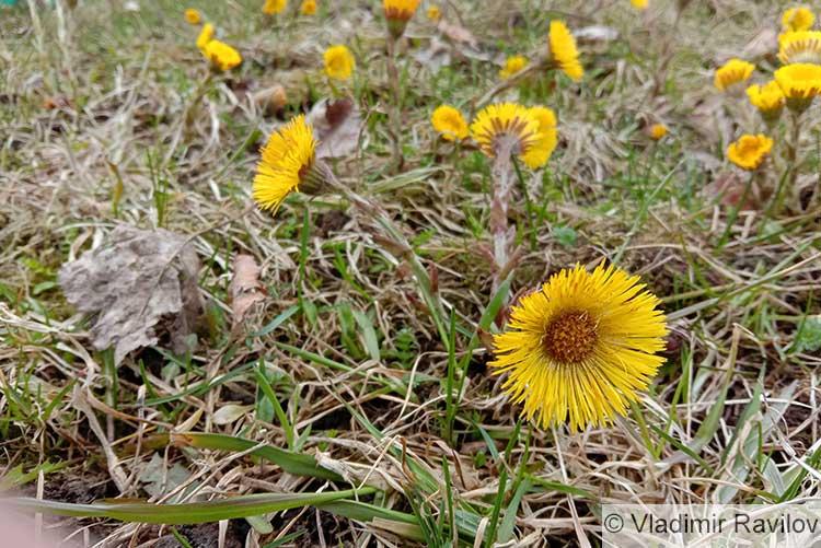 Мать-и-мачеха цветет весной желтыми цветками