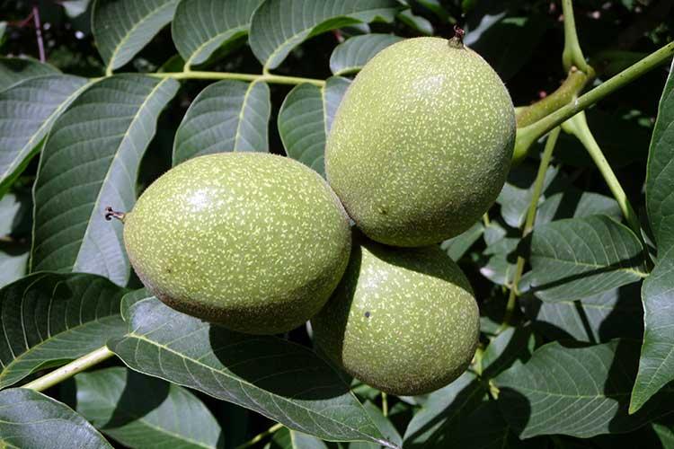 Для лекарственных целей применяют незрелые грецкие орехи и листья дерева ореха