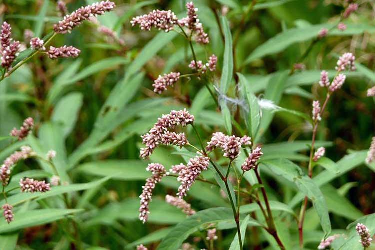Необыкновенные свойства почечуйной травы