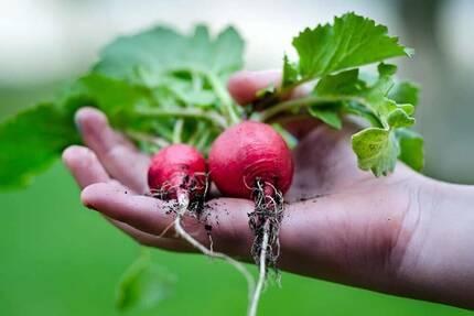 Хороший урожай редиса в теплице