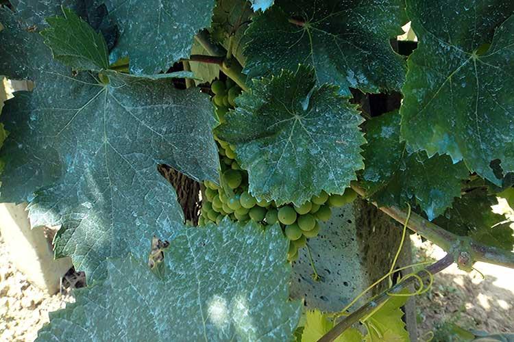 Время обработки и правила разведения бордосской смеси для винограда сроки ожидания результата