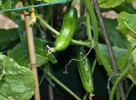 Соблюдайте севооборот - выращивайте огурцы на том же месте не ранее, чем через 3 года
