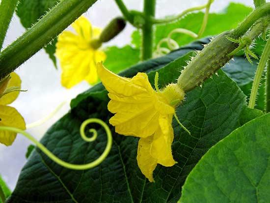 Регулярно собирая огурцы ты помогаешь растению