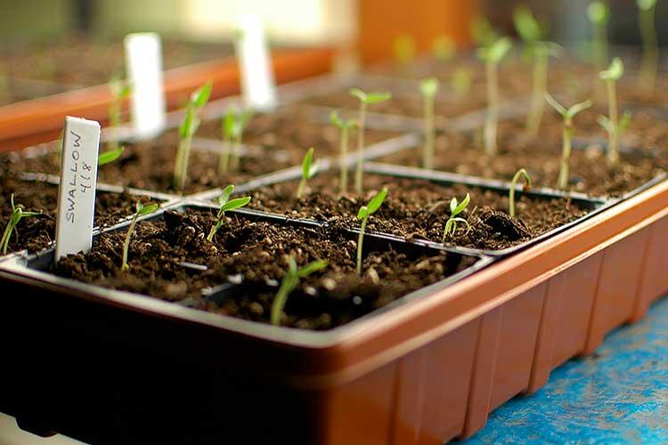 Чем обработать семена баклажан перед посадкой