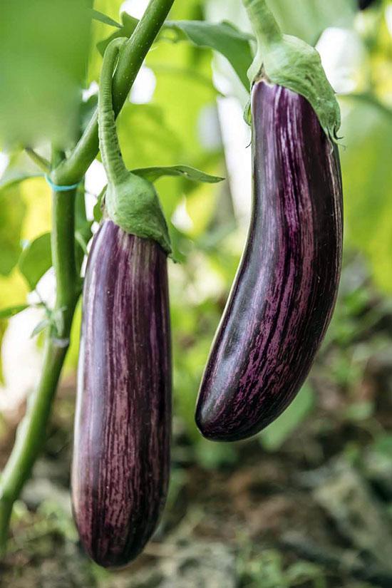 Рекомендуется выращивать районированные сорта баклажанов