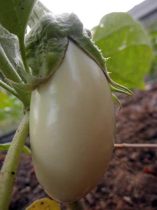Некоторые сорта баклажанов имеют плоды белого цвета