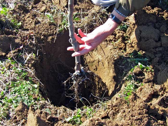 Круглая форма посадочной ямы идеально подходит для развития корневой системы саженцев