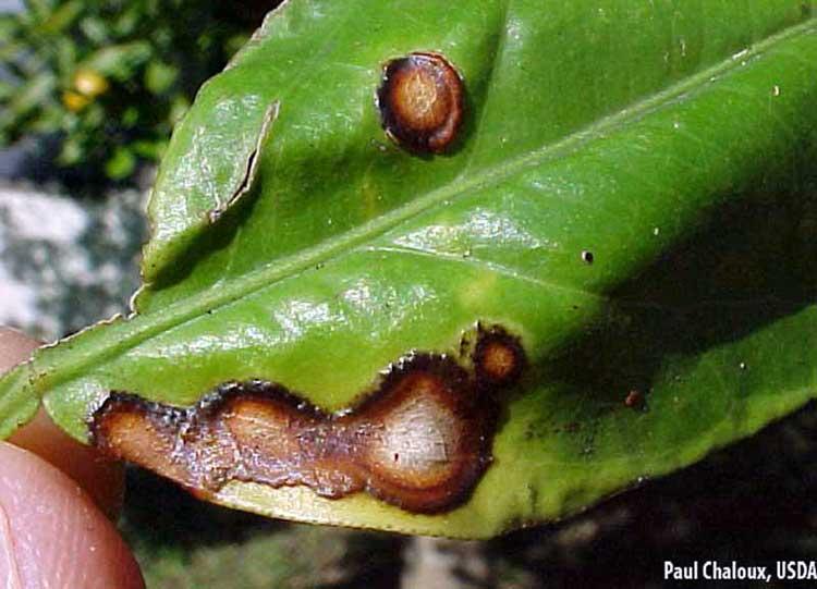 Симптомы антракноза на листе лимона: гниющие пятна