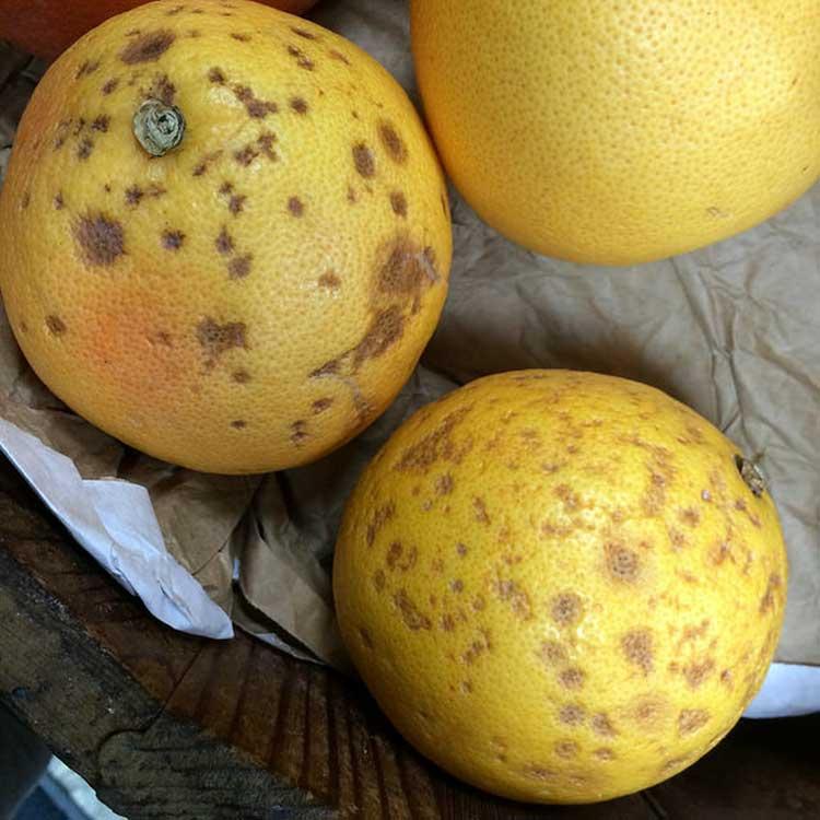 Пятна на плодах лимона - признаки запущенного антракноза