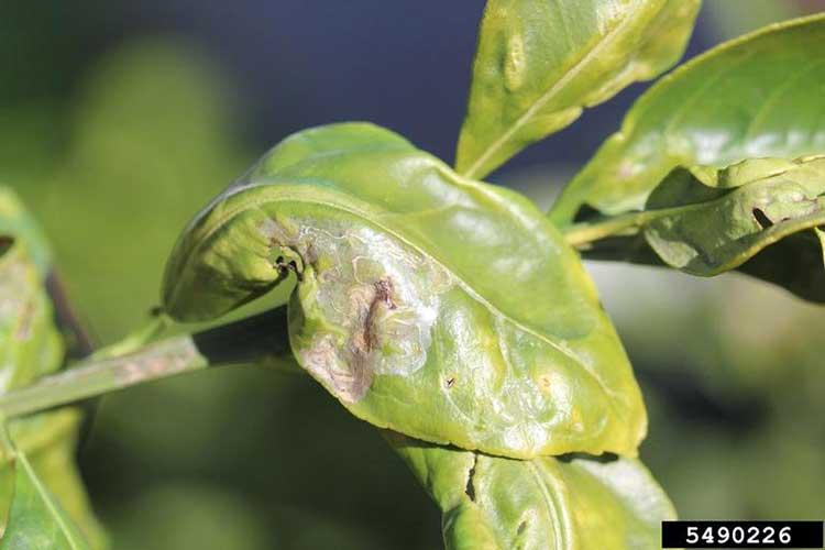 Причину вирусного заболевания лимона установить тяжело