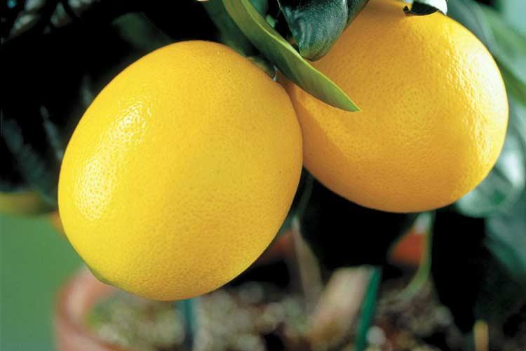 Как часто поливать лимон в домашних условиях