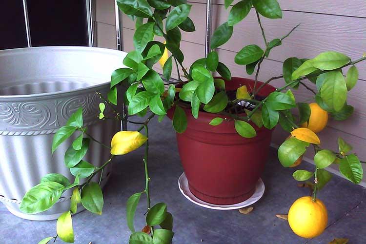 Сорта лимонов: для выращивания в домашних условиях