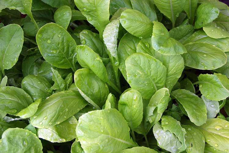 Салатная горчица: выращивание иуход, полезные свойства