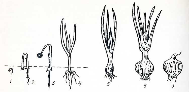 Стадии развития репчатого лука