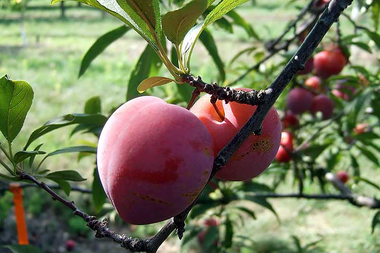 Плодовые деревья и кустарники в саду: таблица совместимости