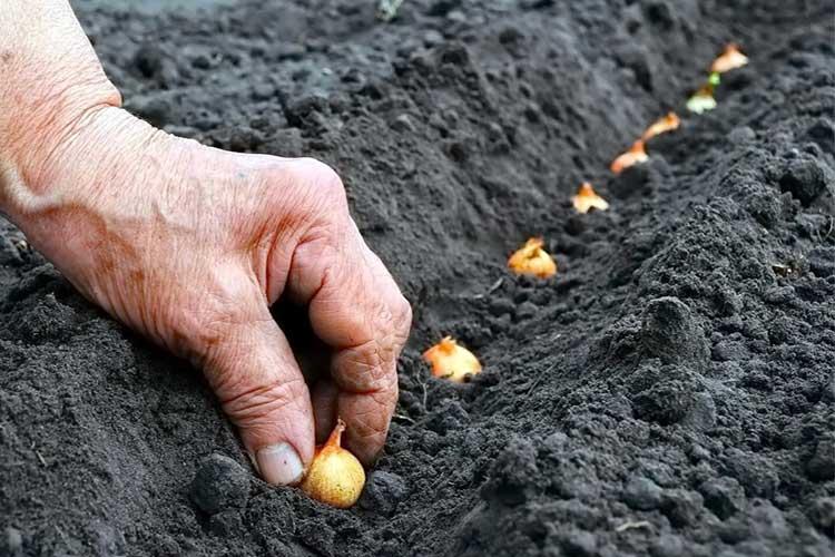 Лук севок сажают под зиму, когда температура почвы понизится до нуля