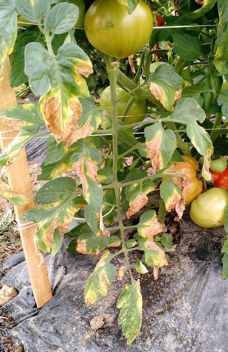 Начальная стадия фузариоза томатов