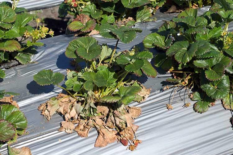 Описание причины и лечение фузариоза картофеля меры борьбы
