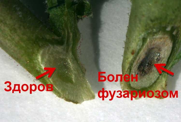 Достоверная диагностика фузариоза по срезу стебля