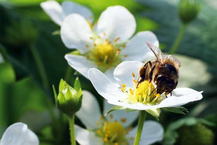 Пчела на цветах земляники