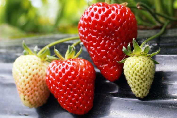 подкормка клубники после сбора ягод