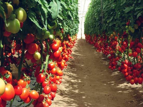 Для каждого сорта томатов - свой порядок размещения на грядке