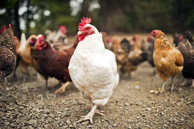 Как отходы птицеводства превратить в доходы?