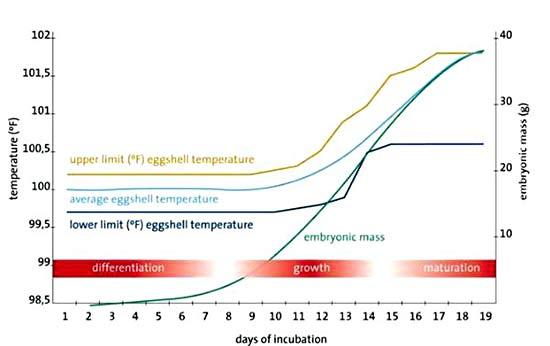 Кривая роста и модель инкубации для температуры яичной скорлупы для цыплят (Gallus gallus) в инкубационном шкафу для оптимальной выводимости и однородного вывода