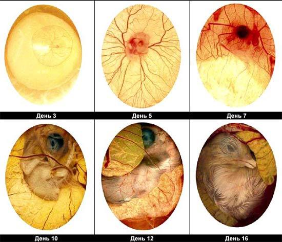 Развитие куриного эмбриона на 3,5,7,10,12,16 день инкубации