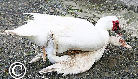 Спаривание мускусной утки и селезня