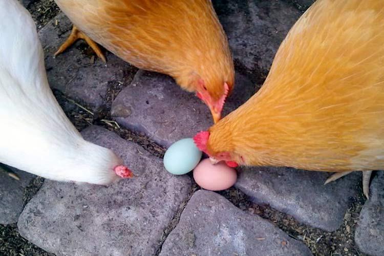 Почему курицы едят свои яйца