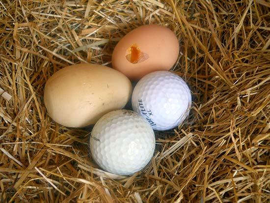 Шары для гольфа в гнезде с яйцами