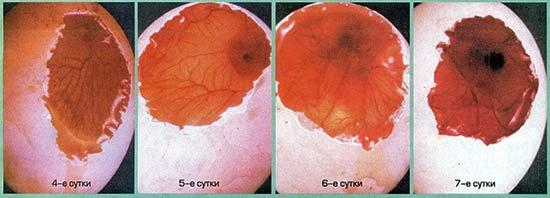 Развитие зародыша на 4 - 7 сутки