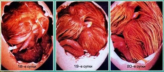 Развитие куриного зародыша на 18-20 сутки