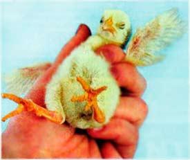 Осмотр суточного цыпленка